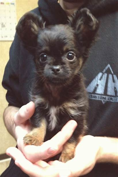Chihuahua Dog Dogs Haired Puppies Puppy Breeds