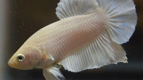 albino betta fish picture    female betta