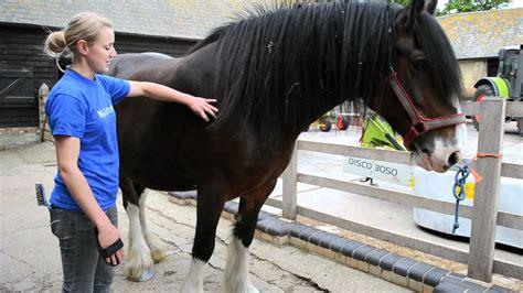 shire horses myfarm