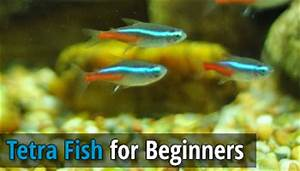 The Best Tetra Fish for Beginners