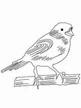 Canary Coloring Birds Colorear Dibujos Canario Printable Imprimir Gratis sketch template