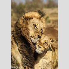 How Beautiful And Cute The Love Of Animals Is #lion