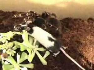 bird-eating-spider vs. mouse - YouTube