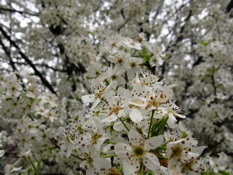 trees with white flowers top 28 flowering white trees photo white flowering
