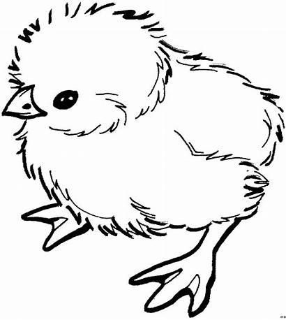 Kueken Oben Tiere Chick Coloring Printable Chicken