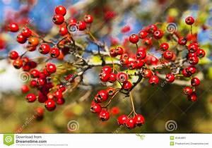 Baum Mit Roten Beeren : baum mit roten beeren stockfoto bild 45464861 ~ Markanthonyermac.com Haus und Dekorationen