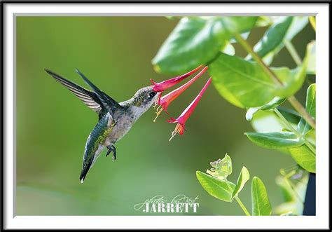 best 28 when do hummingbirds leave illinois anna s