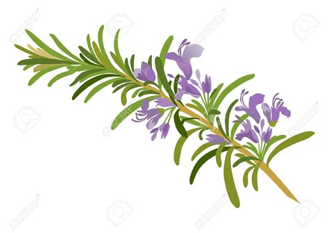 rosemary clipart    clipartmag