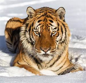 Siberian Tiger Face To Face Photograph by Jerry Fornarotto