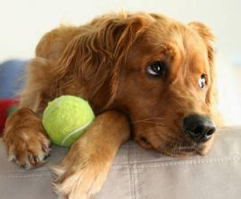 Best  Golden Retriever Rescue Ideas On Pinterest