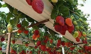 Faire Pousser Des Fraises : 9 incroyables fa ons de faire pousser les fraises la verticale en hauteur en pot etc ~ Melissatoandfro.com Idées de Décoration