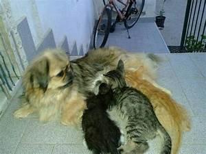 Amore di mamma, Jessica la cagnolina che allatta i gattini orfani 1 di 1 Napoli Repubblica it