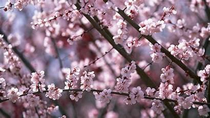 Sakura Flower Flowers Wallpapertag Mobile