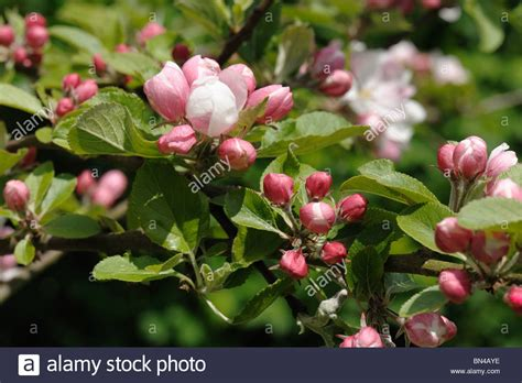 Flower buds at pink bud stage about to open on an apple ...
