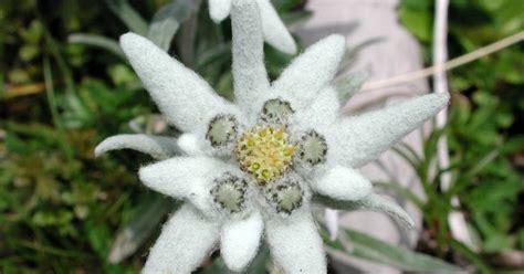 bunga keabadian edelweis mitosnya
