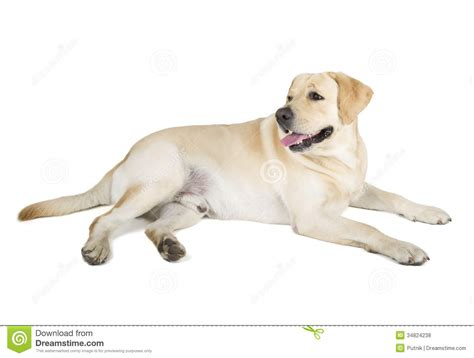 Pin Cute Yellow Labrador Puppy on Pinterest