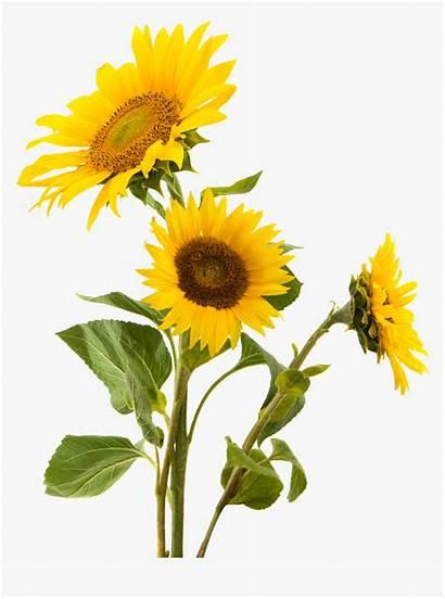 Sunflower Clipart Sunflowers Seed Gluten Transparent Nut