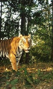 Thailand's efforts to protect wild tigers starting to pay ...