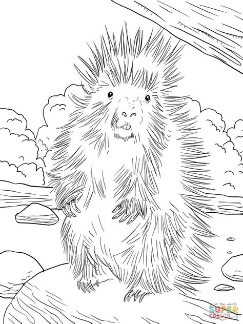 north american porcupine coloring page  printable