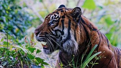 Tiger Hungry Animals