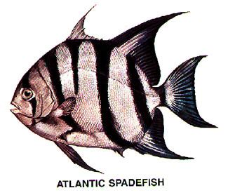 atlantic spadefish beaufort