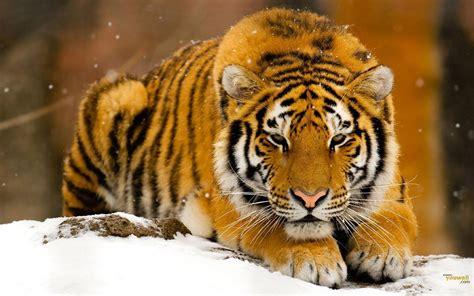 Golden Tiger Wallpaper Desktop Wallpapers
