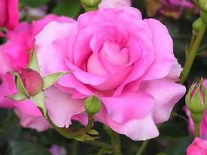 Hybrid tea Pink rose - Beautiful Flowers Picture