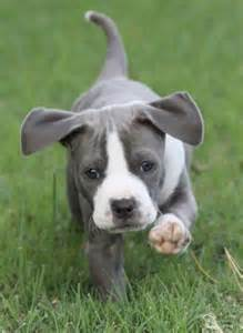 Pitbull Puppies with Floppy Ears