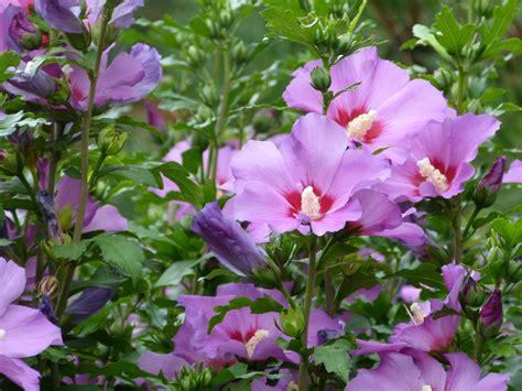 hibiscus entretien l hibiscus ou althea en fleur entre juillet et octobre