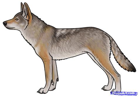 Draw Coyotes Prairie Wolf Step By Step Drawing Sheets
