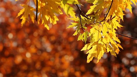 yellow maple tree leaves  stock footage video