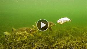 How To Fish: Pike vs REAL robot fish Attack underwater on ...