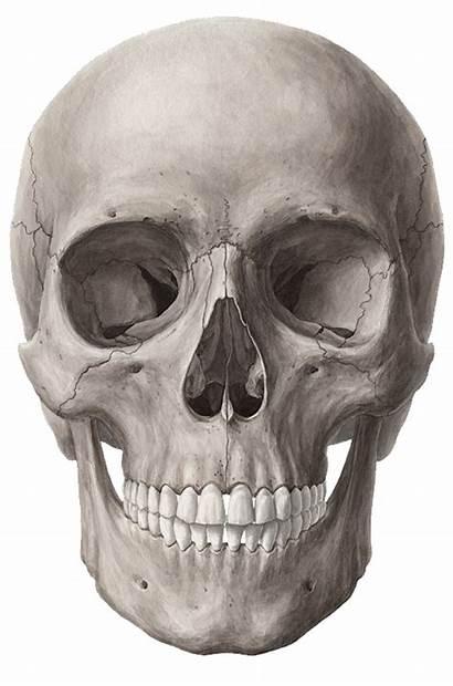 Skull Pngimg