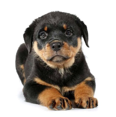 rottweiler names male  female names  rotties
