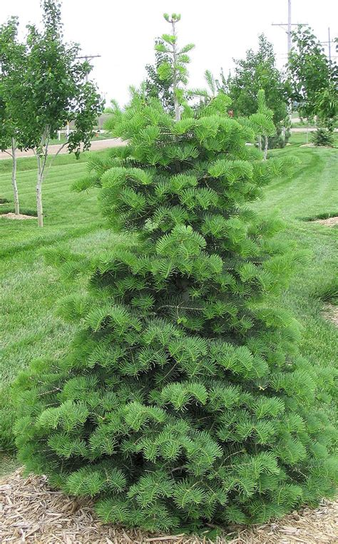 concolor smell like oranges christmas trees sustainable landscape consider a tree for your yard home and garden journalstar