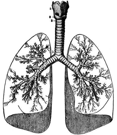 clipart etc human lungs drawing