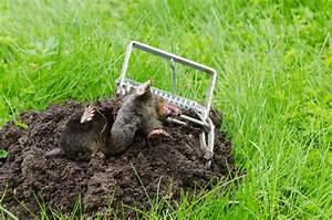 Pieges A Taupes Efficace : comment viter les taupes dans son jardin ~ Dailycaller-alerts.com Idées de Décoration