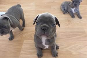 Hundebekleidung Französische Bulldogge : franz sische bulldogge welpen blue blau mit papieren franz sische bulldogge ~ Frokenaadalensverden.com Haus und Dekorationen