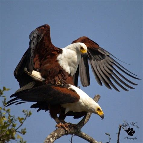 eagles mating photography pinterest