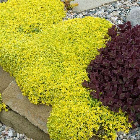 sedum ground cover sedum acre aureum greatgardenplants com