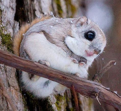 japanese dwarf flying squirrel  cute xcitefunnet