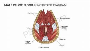 Male Pelvic Floor Powerpoint Diagram