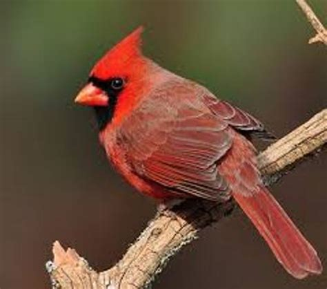facts  cardinals fact file