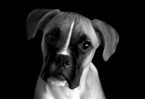 Black And White Animal Photography Dog | www.pixshark.com ...