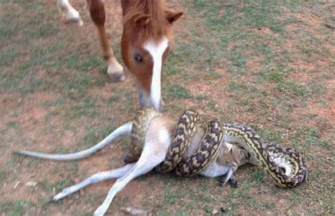 eating python snake horse wallaby swallows giant bernie filmed ipswich scrub cairns spotted near property