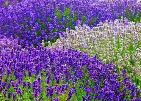 lavender how to plant how to grow lavender plants