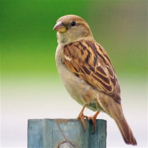 little brown bird 14137 photo gordon w photos at pbase com