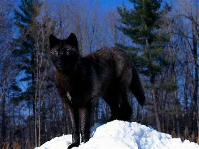 Wolf Wolves Snow She Pups Dark Pup