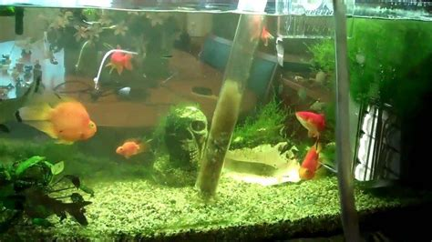 how do bettas live how long do betta fish live everything you need to know