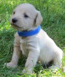non shedding small dog breeds small dog puppies dog
